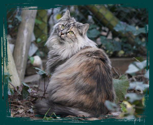 Ig Hallo Norweger Interessengemeinschaft Norwegische Waldkatzen